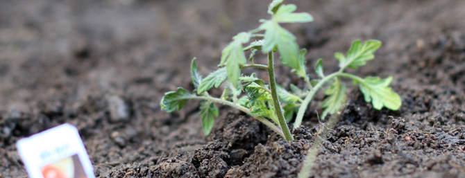 Grow your own beefsteak tomatoes – Part 2: Planting